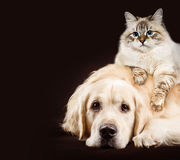 猫和狗,西伯利亚小猫,一起金毛猎犬在黑褐色背景 免版税库存图片