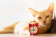 猫和红色闹钟 免版税库存照片