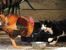 猫和雄鸡002 库存照片