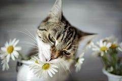 猫和雏菊花 免版税库存照片