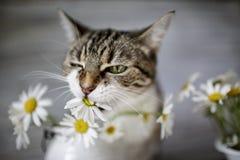 猫和雏菊花 免版税库存图片