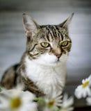 猫和雏菊花 库存图片