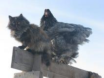 11 07 2014年 猫和鸡 免版税库存图片