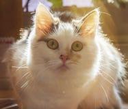 猫和他感兴趣的眼睛 免版税库存图片