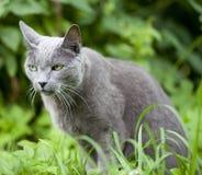 猫品种俄国蓝色 免版税库存照片