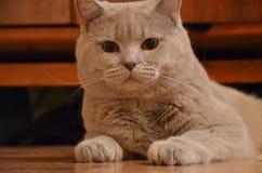 猫品种淡紫色的英国 免版税库存照片