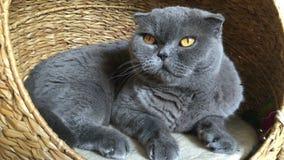 猫品种苏格兰人在他的房子里折叠坐 影视素材