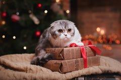 猫品种苏格兰人折叠,圣诞节和新年 图库摄影