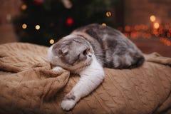 猫品种苏格兰人折叠,圣诞节和新年 免版税库存照片