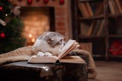 猫品种苏格兰人折叠,圣诞节和新年 免版税库存图片