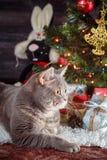 猫品种苏格兰平直基于在圣诞树的白色地毯 库存图片