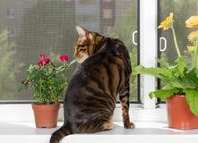 猫品种toyger坐窗口基石和嗅玫瑰色花 图库摄影