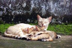 猫哺乳她的小猫 库存图片