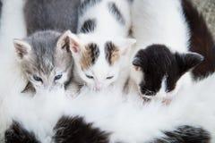 猫哺乳它的小猫 免版税库存图片