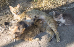 猫哺乳小猫 图库摄影