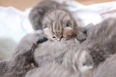 猫哺乳的小猫 免版税库存图片