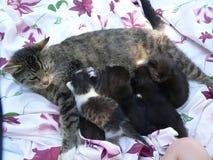 猫哺乳的小猫 库存图片