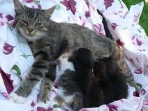 猫哺乳的小猫 库存照片
