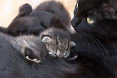 猫哺乳的小猫 免版税图库摄影