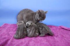 猫哺乳 库存图片