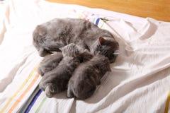 猫哺乳 图库摄影