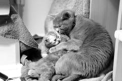猫哺乳 免版税库存照片
