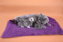 猫哺乳 库存照片
