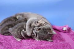 猫哺乳 免版税库存图片