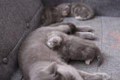 猫哺乳 免版税图库摄影