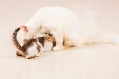 猫哺养的小猫牛奶 库存图片