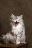 猫唱歌 库存照片