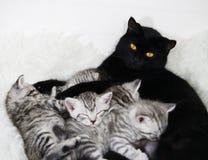 猫喂养小猫 哺乳 库存照片
