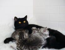 猫喂养小猫 哺乳 库存图片