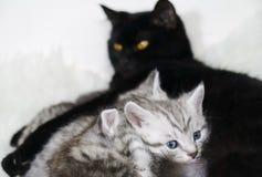 猫喂养小猫 哺乳 免版税库存照片