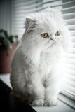 猫喜马拉雅波斯白色 免版税库存照片