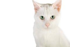 猫国内白色 库存图片