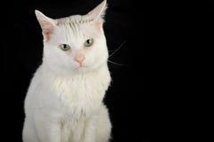 猫国内白色 库存照片