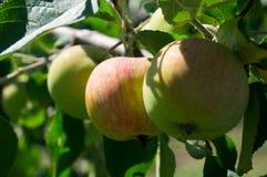 猫国家(地区)母牛小猫生活 苹果苹果分行结果实叶子果树园 乌克兰 图库摄影