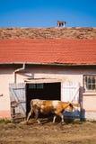 猫国家(地区)母牛小猫生活 免版税库存照片