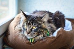 猫在一只绿色领带蝴蝶的缅因浣熊 库存照片