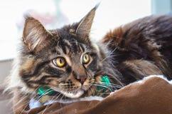 猫在一只绿色领带蝴蝶的缅因浣熊 免版税图库摄影