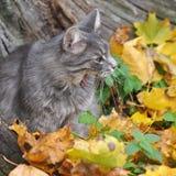 猫在下落的叶子和哈欠坐 库存图片