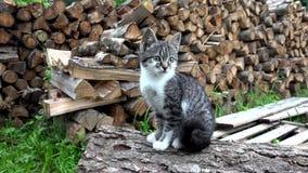 猫在农场,看在照相机,猫猫的小猫坐在庭院里 股票视频