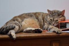 猫在喜爱的地方说谎 库存图片