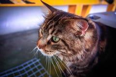 猫在宠物载体的缅因浣熊 库存照片