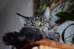 猫在家说谎在一个木立场,底视图的缅因浣熊 您能看到面孔的爪子和部分,在的焦点 库存图片