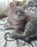 猫在床上说谎 图库摄影