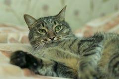 猫在床的格子花呢披肩说谎 免版税库存照片