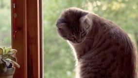 猫在开窗口附近坐 影视素材