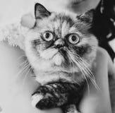 猫在所有者的手上 免版税库存照片